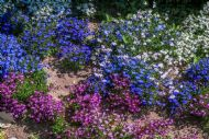 Bedding Lobelia 3000 Seeds,Mixed Colours, best for front bed,4 months of bloom